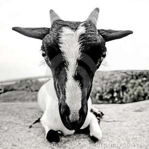 goat-whith-big-head-fisheye-black-white-9944544
